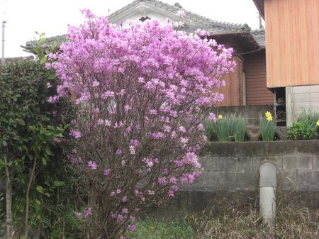 306iwatsutsuji_011