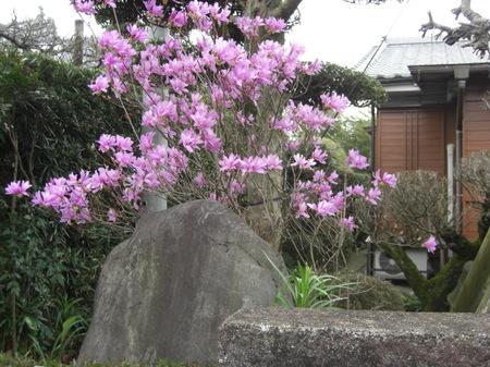 306iwatsutsuji_006